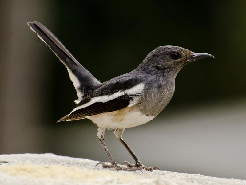 An oriental magpie robin feeding at a bird feeder. The oriental magpie-robin Copsychus saularis is a small passerine bird that was formerly classed as a member stock image