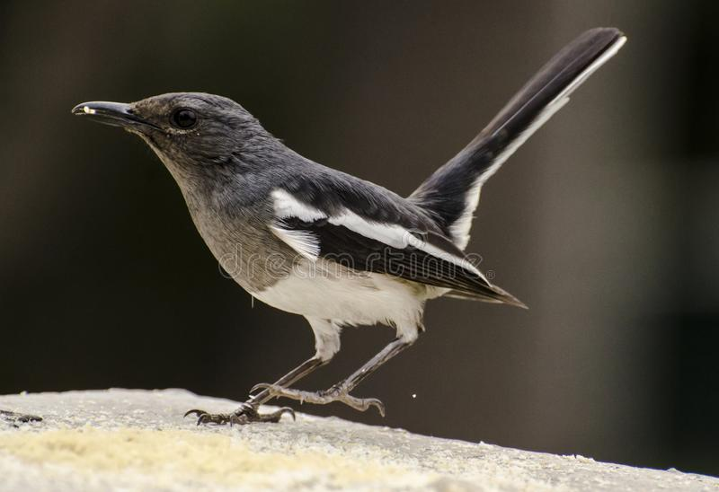 An oriental magpie robin feeding at a bird feeder. The oriental magpie-robin Copsychus saularis is a small passerine bird that was formerly classed as a member stock photography