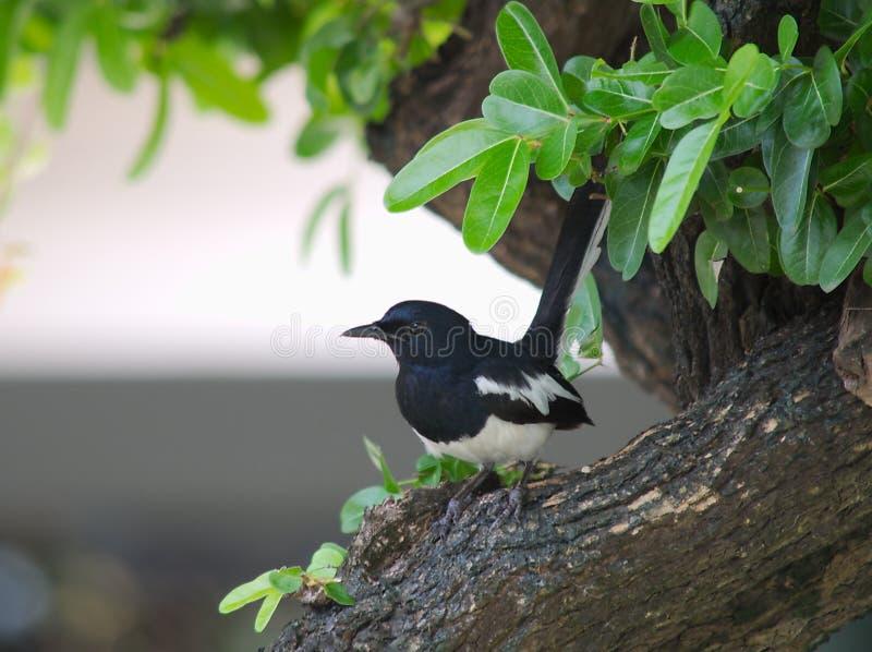 Oriental magpie-robin stock image