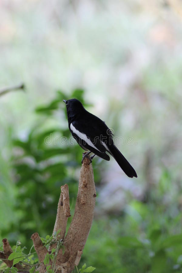 Oriental magpie robin stock photos