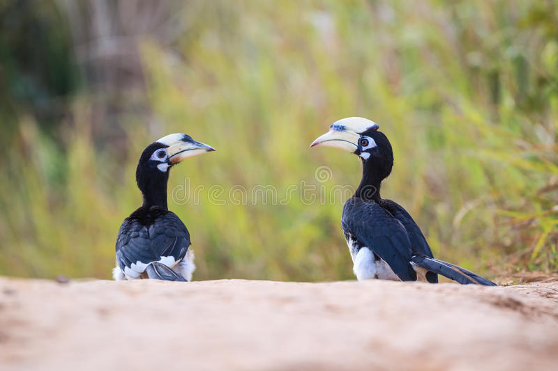 Oriental pied hornbill. (Anthracoceros albirostris) on the ground in nature stock image