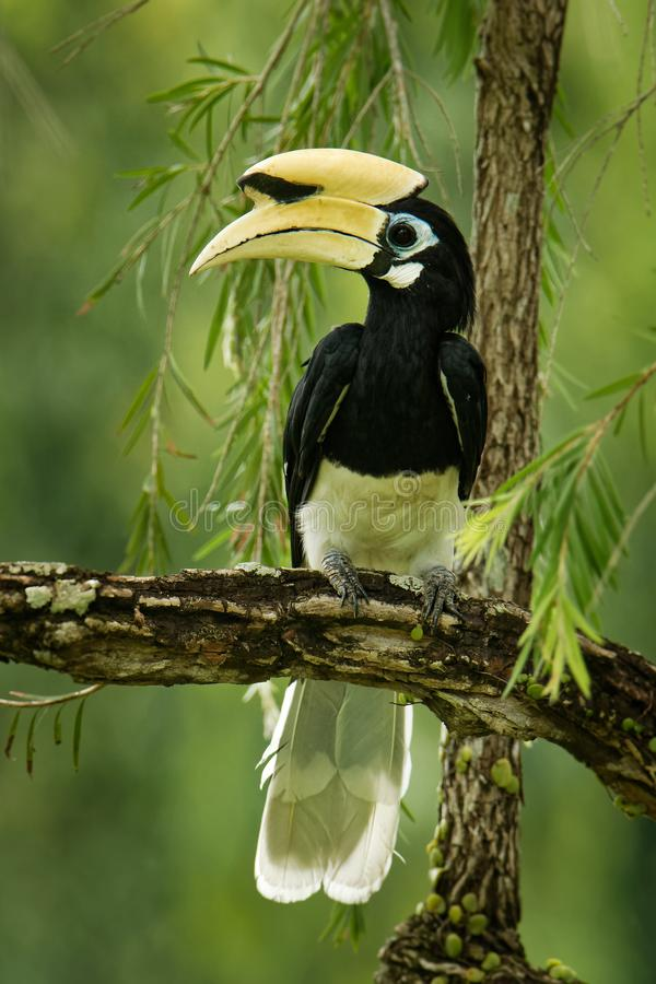 Oriental Pied-Hornbill - Anthracoceros albirostris large canopy-dwelling bird belonging to the Bucerotidae. Other common names are sunda pied hornbill & x28 stock images