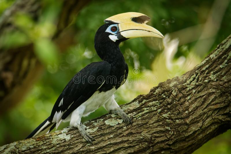 Oriental Pied-Hornbill - Anthracoceros albirostris large canopy-dwelling bird belonging to the Bucerotidae. Other common names are sunda pied hornbill ( stock images