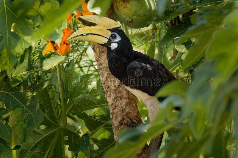 Oriental Pied-Hornbill - Anthracoceros albirostris large canopy-dwelling bird belonging to the Bucerotidae. Other common names are sunda pied hornbill convexus royalty free stock photography