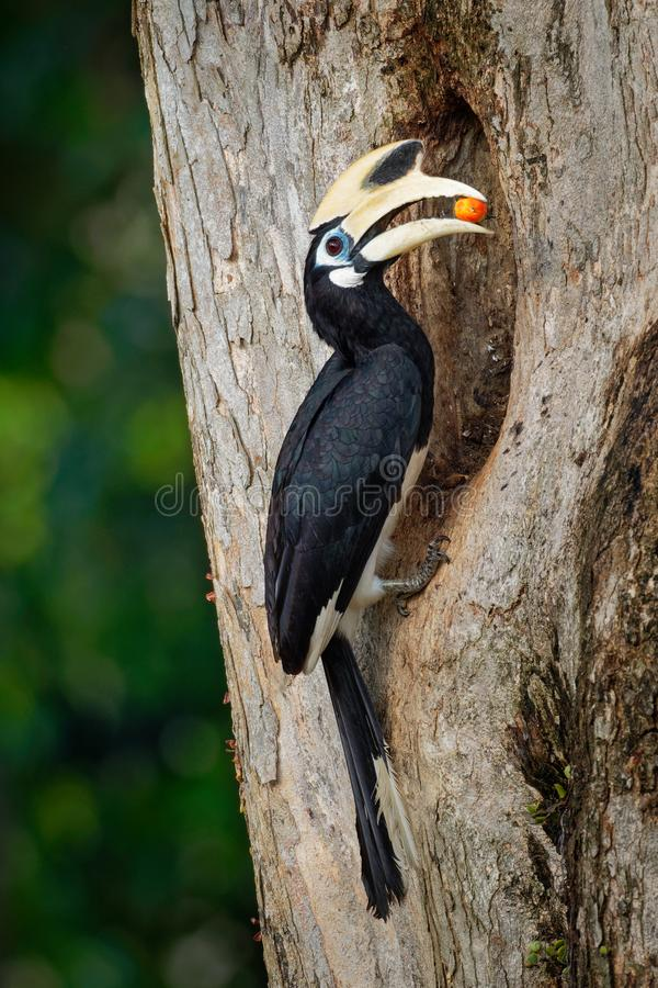 Oriental Pied-Hornbill - Anthracoceros albirostris large canopy-dwelling bird belonging to the Bucerotidae. Other common names are. Sunda pied hornbill convexus royalty free stock photos