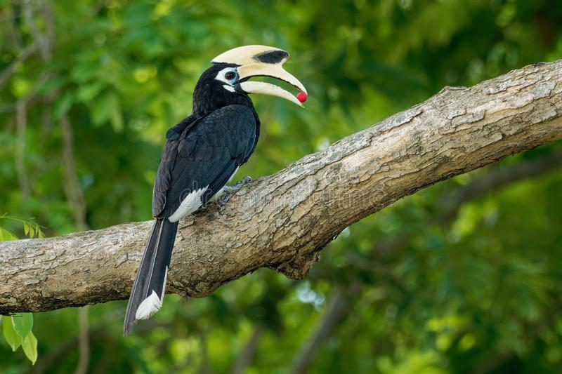 Oriental Pied-Hornbill - Anthracoceros albirostris large canopy-dwelling bird belonging to the Bucerotidae. Other common names are. Sunda pied hornbill convexus stock photography