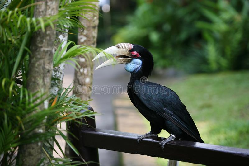 Oriental pied hornbill Anthracoceros albirostris. In nature at Bali Bird Park, Indonesia stock photo
