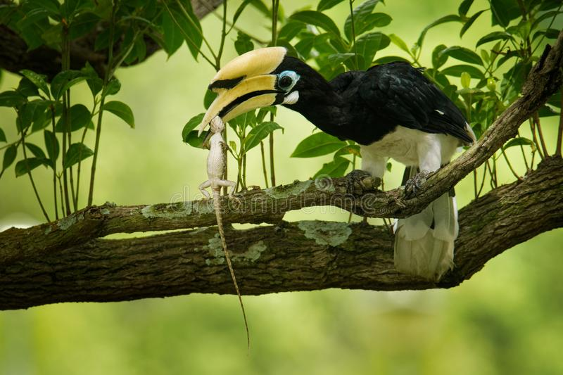 Oriental Pied-Hornbill - Anthracoceros albirostris with the prey - Oriental Garden Lizard. Other common names are sunda pied. Oriental Pied-Hornbill royalty free stock photos