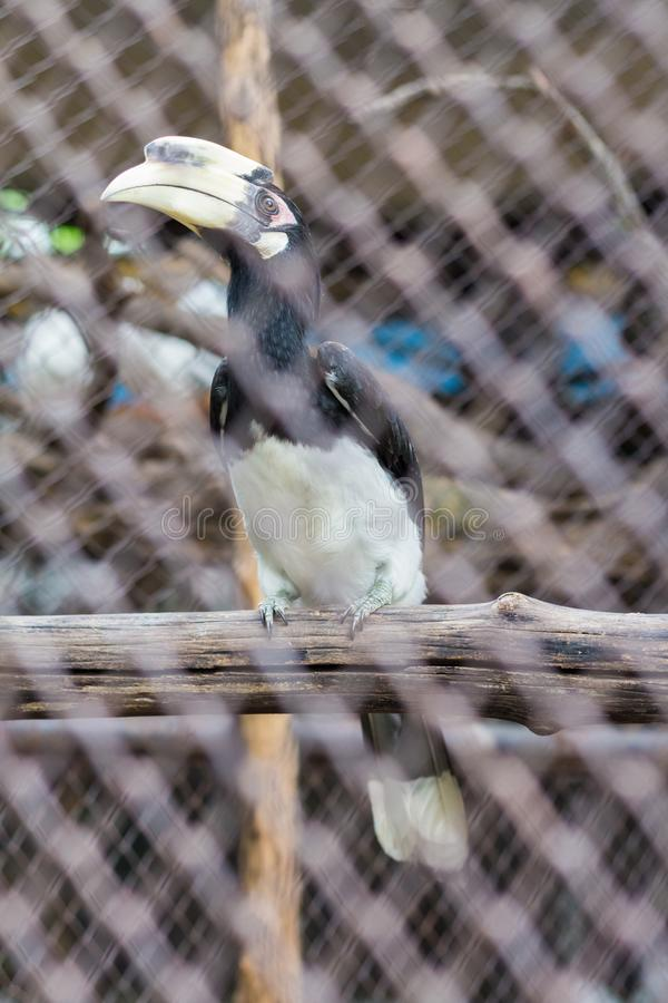 Oriental Pied Hornbill in the cage. Oriental Pied Hornbill Anthracoceros albirostris in the zoo of thailand stock photography