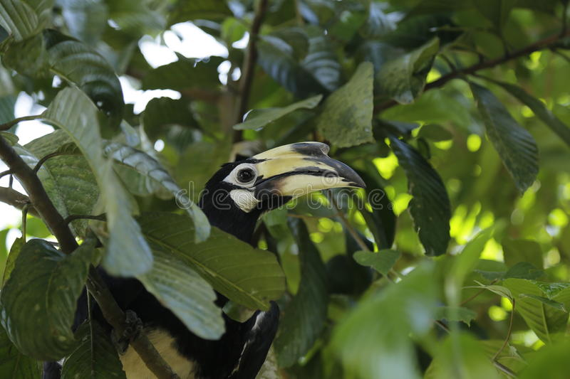 Oriental Pied Hornbill. Can be found the Kinabatangan River, Danum valley, Maliu basin, Imbak canyon.  nest in huge tree trunks with holes stock image