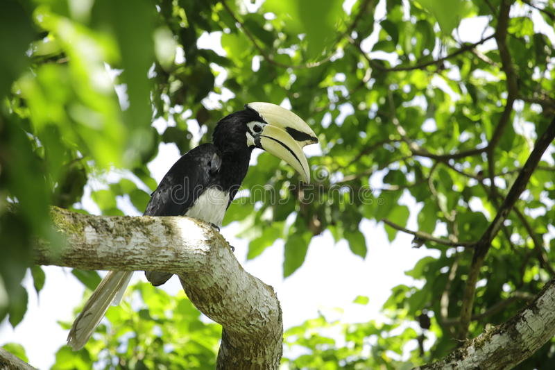 Oriental Pied Hornbill. Can be found the Kinabatangan River, Danum valley, Maliu basin, Imbak canyon.  nest in huge tree trunks with holes stock photos