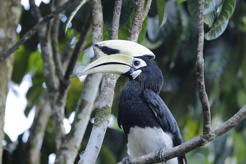 Oriental Pied Hornbill. Can be found the Kinabatangan River, Danum valley, Maliu basin, Imbak canyon.  nest in huge tree trunks with holes stock images