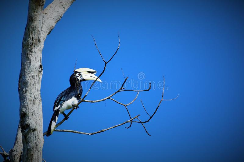 Oriental Pied Hornbill. Can be found the Kinabatangan River, Danum valley, Maliu basin, Imbak canyon.  nest in huge tree trunks with holes royalty free stock photos