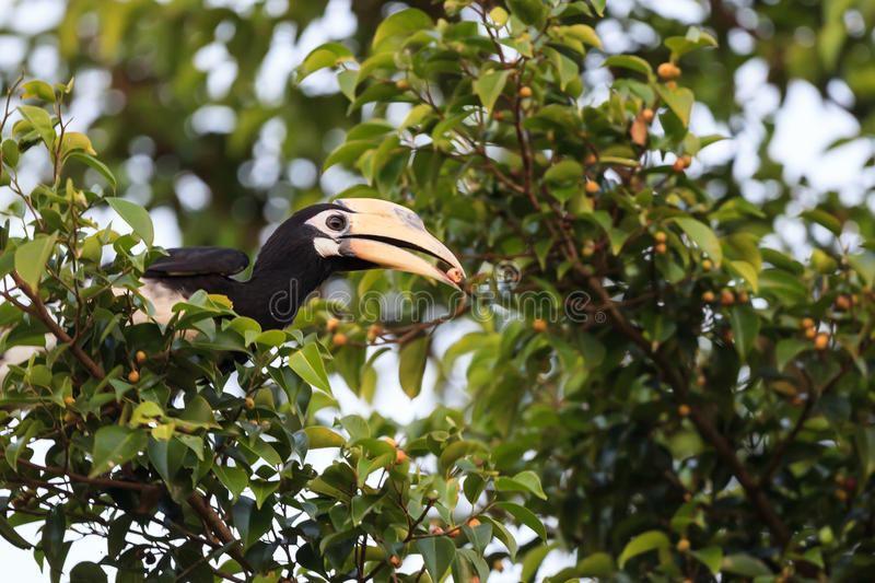 Oriental pied hornbill. Eating fig royalty free stock photography