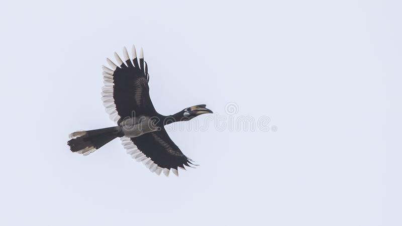 Oriental Pied Hornbill In Flight. Oriental pied hornbill, Anthracoceros albirostris, is flying on dull sky at Khao Yai National Park in Thailand stock photos