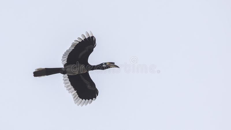 Oriental Pied Hornbill Flying On Blue Sky. Oriental pied hornbill, Anthracoceros albirostris, is in flight on dull sky at Khao Yai National Park in Thailand royalty free stock image