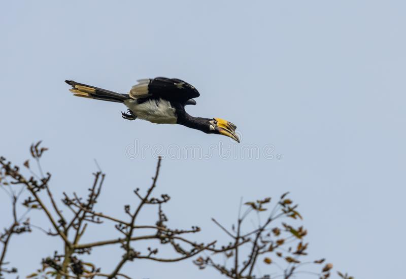 Oriental Pied Hornbill. An oriental pied hornbill flying out of a tree stock photo