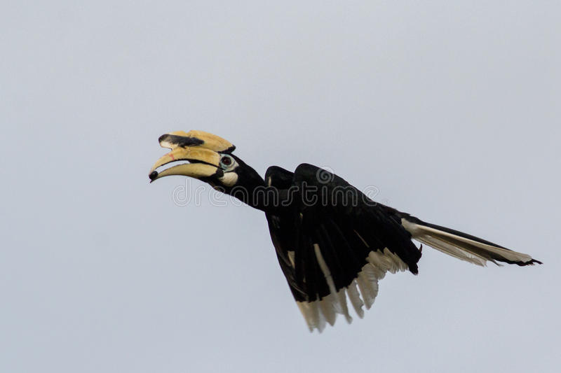Oriental Pied Hornbill. This is a photo of an oriental pied hornbill royalty free stock images