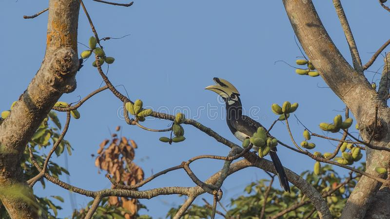 Oriental Pied Hornbill In Rainforest. Oriental pied hornbill, Anthracoceros albirostris, is perching on dry tree on top of rainforest tree looking around at royalty free stock image