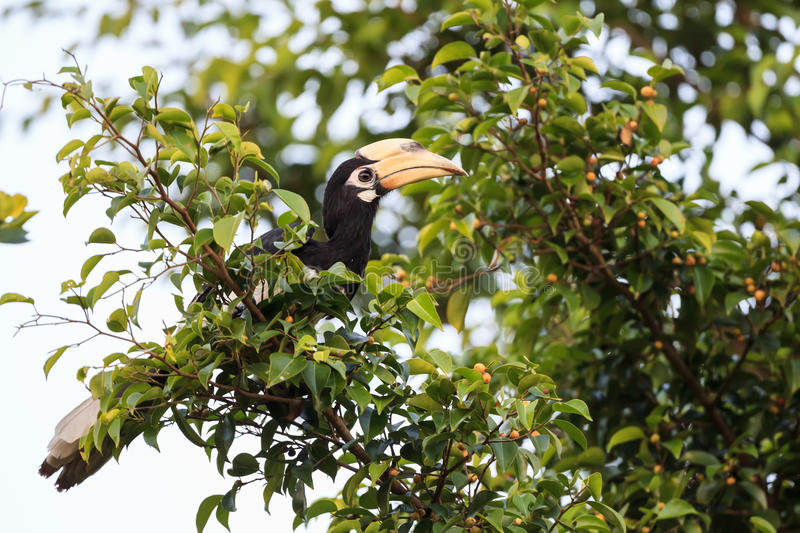 Oriental pied hornbill. Siting on the fig tree royalty free stock photo