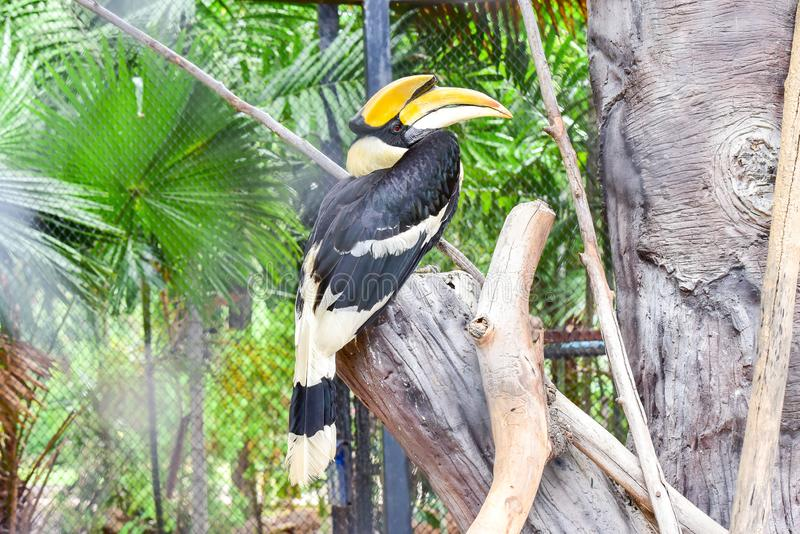 Oriental Pied-Hornbills , Bucerotidae in Thailand ,Colorful toucan.  stock photos