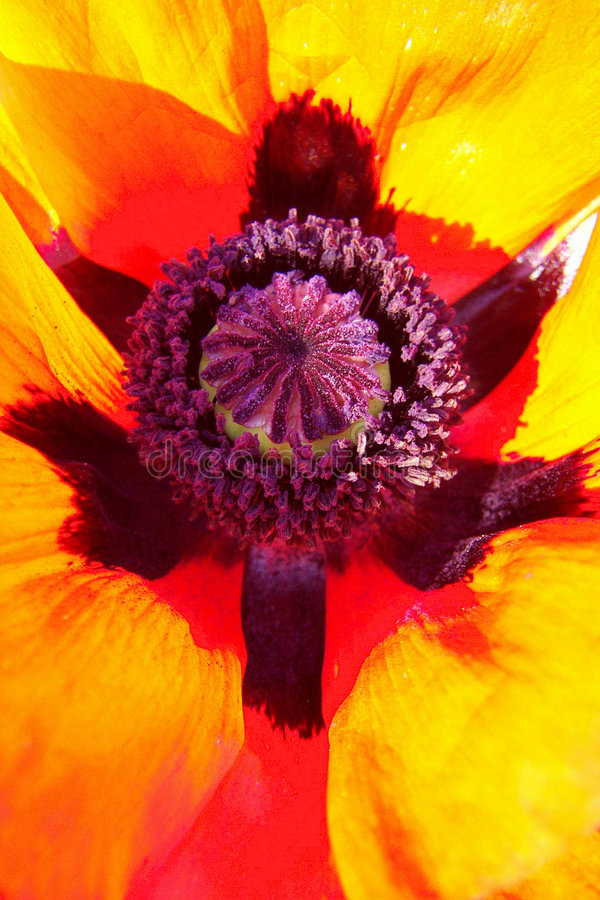 Download Oriental Poppy - abstract stock photo. Image of flower - 203588