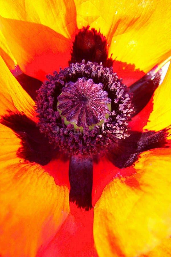 Oriental Poppy - abstract royalty free stock photos