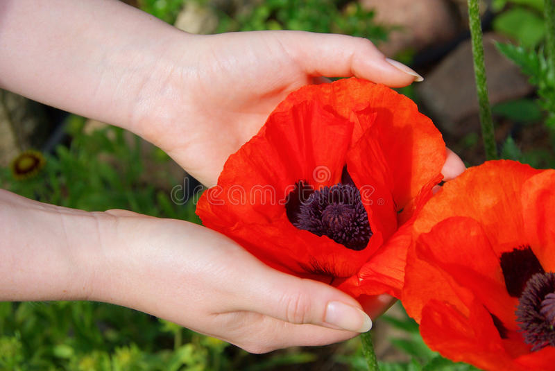 Download Oriental poppy in hands stock photo. Image of closeup - 12936564