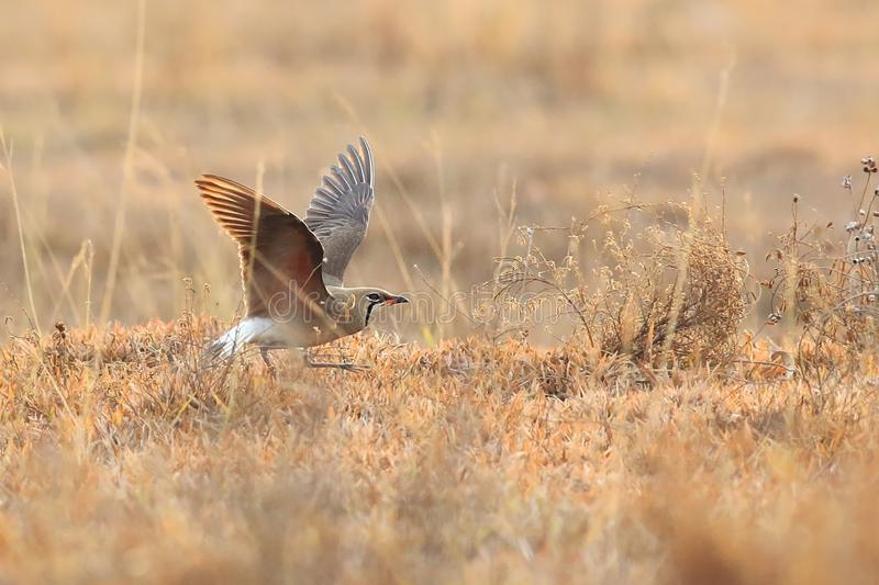 Oriental Pratincole stock photos