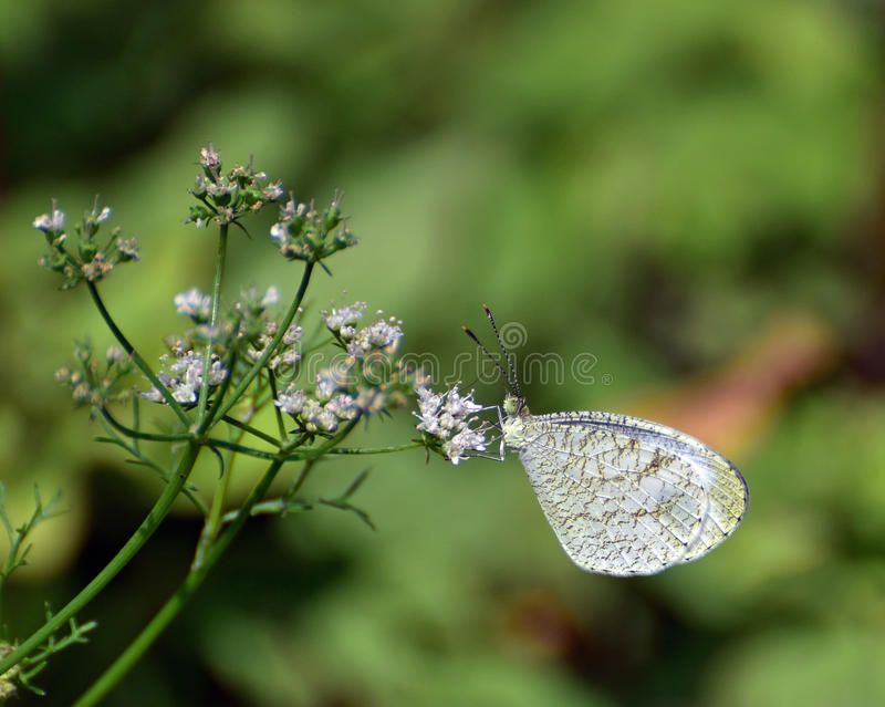 Oriental psyche butterfly stock images
