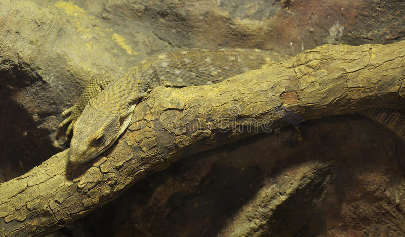 Savanna monitor. Is a species of monitor lizard native to Africa stock photo