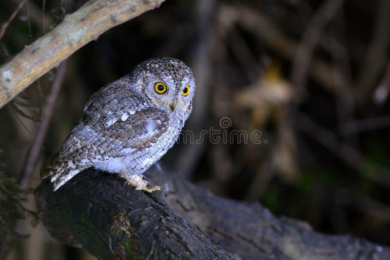 Oriental scop owl bird royalty free stock image