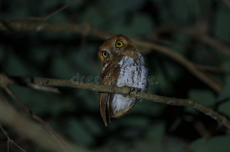 Oriental scop owl bird royalty free stock photos