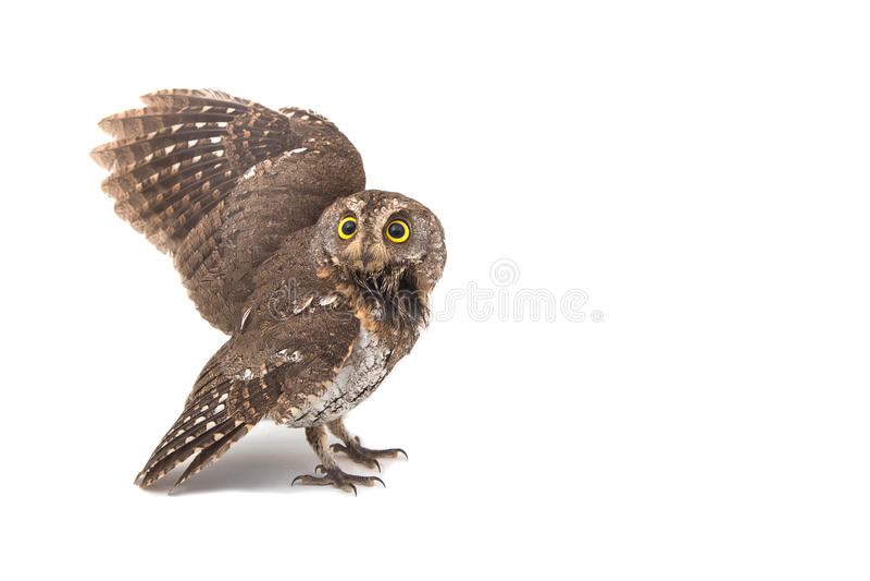 Oriental scops-owl isolate stock photos