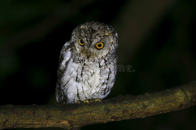 Oriental Scops Owl Otus sunia royalty free stock images