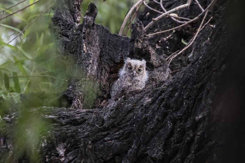 Oriental Scops Owl stock photography