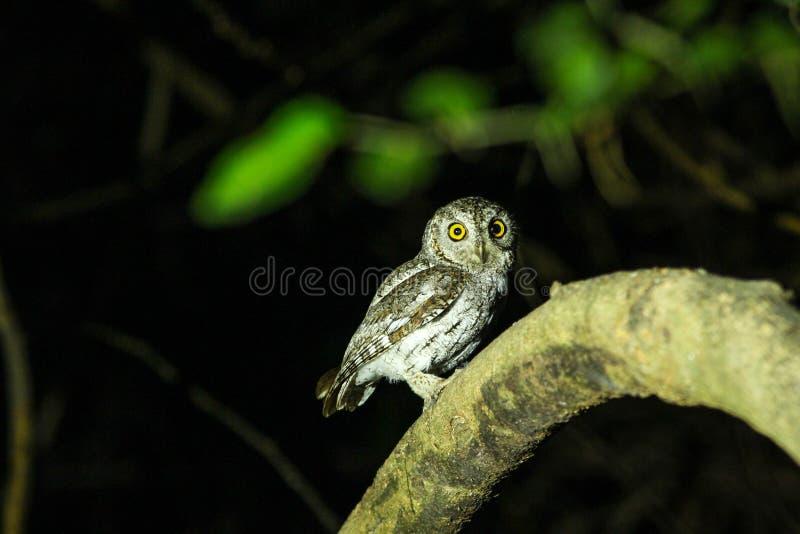 Oriental Scops Owl(Otus sunia) royalty free stock photo