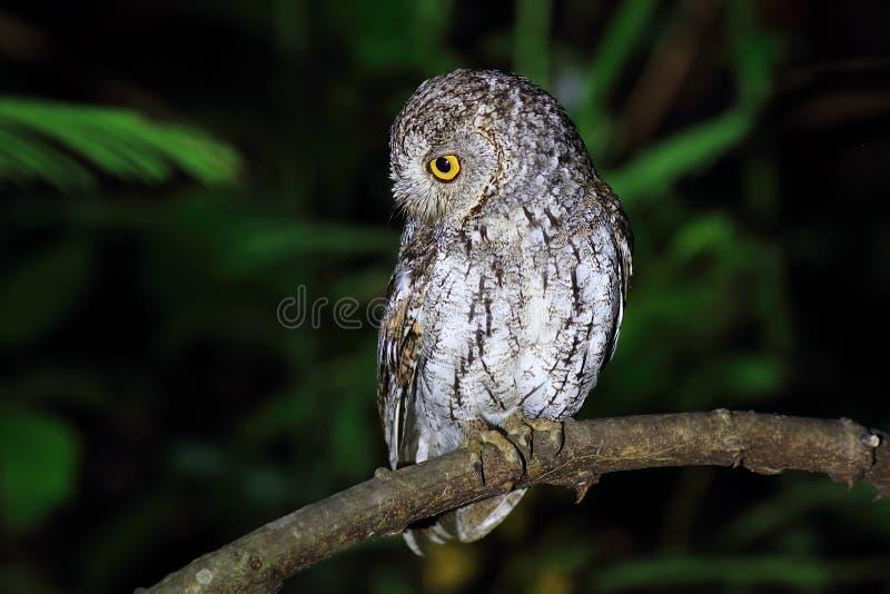 Oriental Scops Owl stock photos
