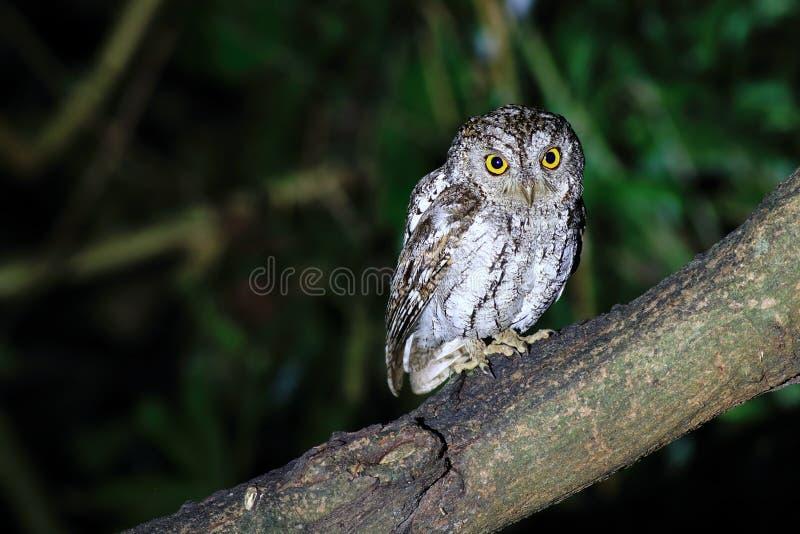 Oriental Scops Owl royalty free stock photos