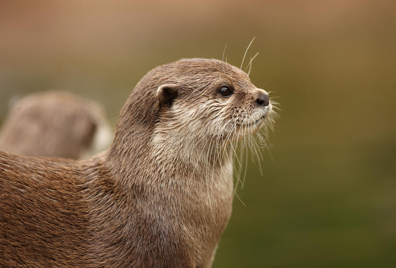 Download Oriental Short-Clawed Otter Stock Image - Image: 20517537