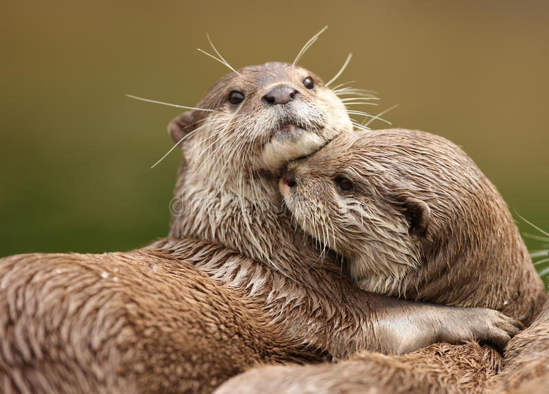 Oriental Short-Clawed Otters stock image