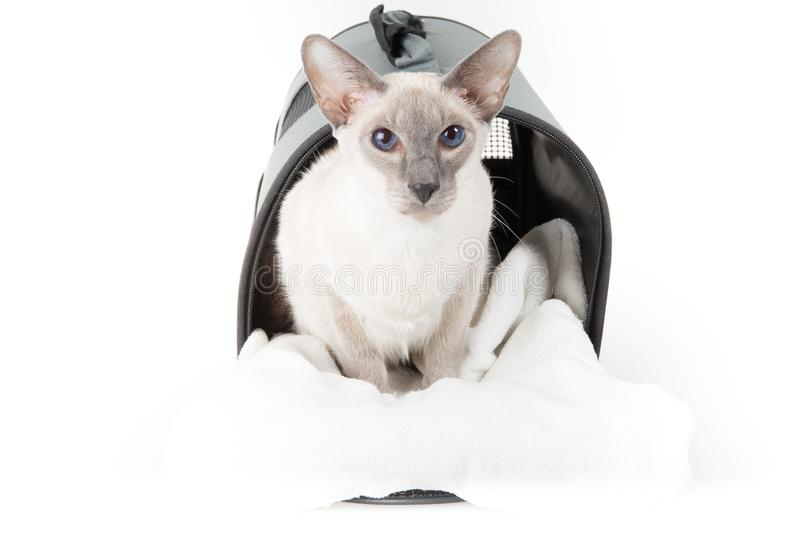 Oriental Shorthair cat carrying bag on white royalty free stock photo