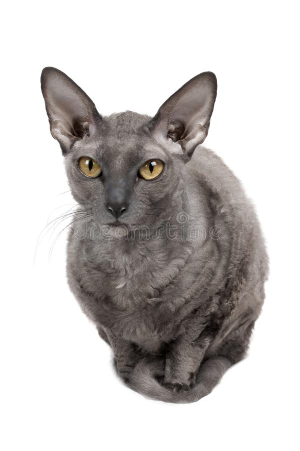 Oriental shorthair cat sitting and starring, gray animal pet, domestic kitty, purebred Cornish Rex. Isolated on white background stock image