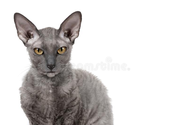 Oriental shorthair cat sitting and watching, gray animal pet, domestic kitty, purebred Cornish Rex. Isolated on white background. royalty free stock image