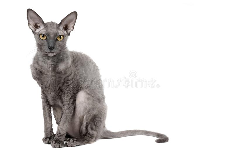 Oriental shorthair cat sitting and watching, gray animal pet, domestic kitty, purebred Cornish Rex. Isolated on white background. Copy space stock photo