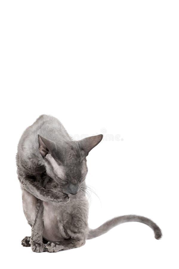 Oriental shorthair cat sittingand washing oneself, gray animal pet, domestic kitty, purebred Cornish Rex. Isolated on white backgr royalty free stock photos