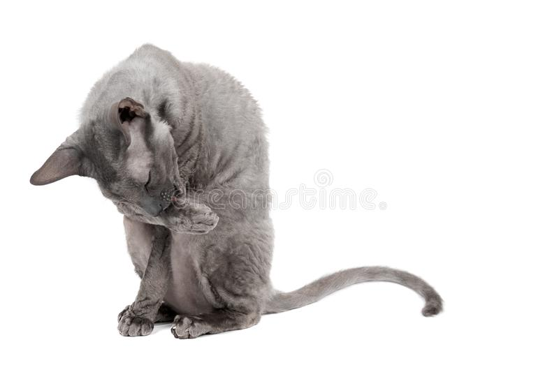 Oriental shorthair cat sittingand washing oneself, gray animal pet, domestic kitty, purebred Cornish Rex. Isolated on white backgr stock images