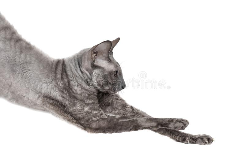 Oriental shorthair cat stretching, gray animal pet, domestic kitty, purebred Cornish Rex. Isolated on white background. Copy space stock photos