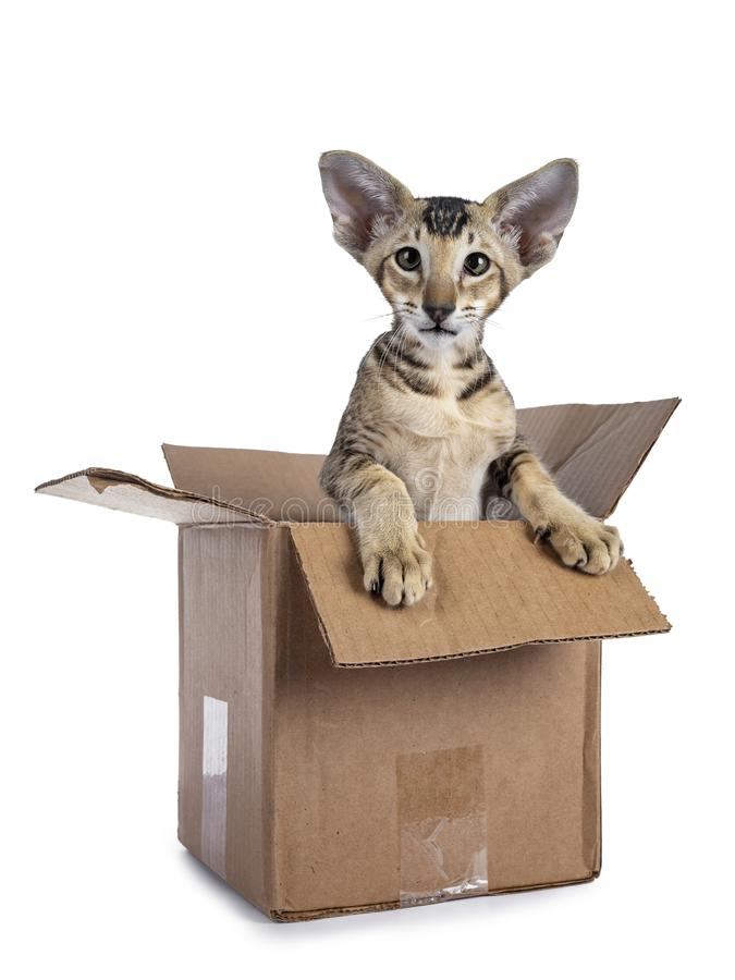 Oriental Shorthair kitten in box on white background royalty free stock images