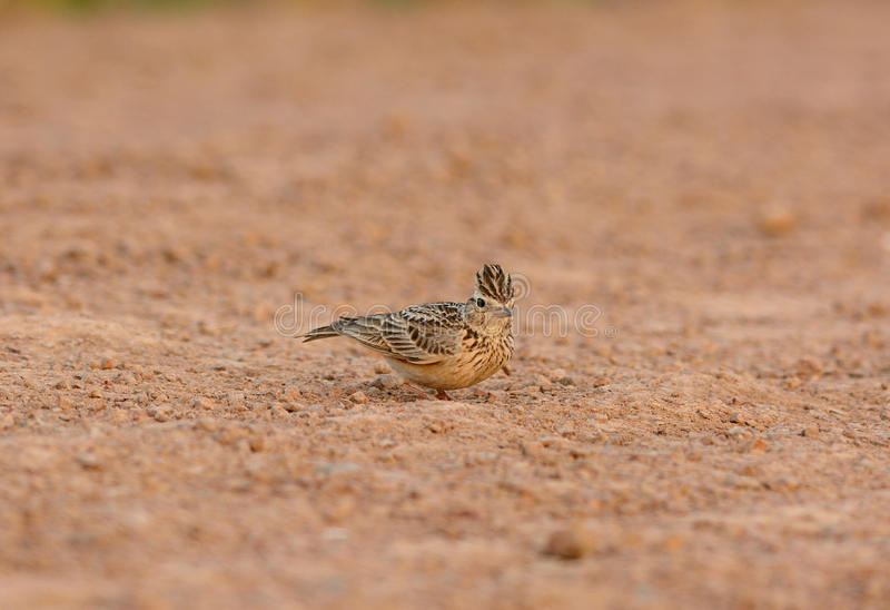 Oriental Skylark (Alauda gulgula) stock photo